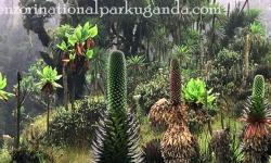 vegetation-mount-rwenzori.jpg