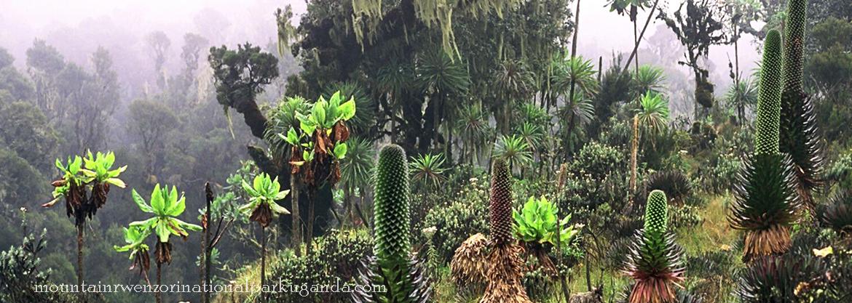 giant-lobelia-rwenzori
