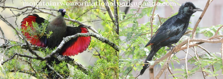 birds-mount-rwenzori