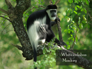 white-colobus-monkey