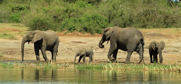 3 Days Uganda Wildlife Safari in Queen & Hiking Safari To Rwenzori / 3 Days Queen Elizabeth Wildlife Safari And Hiking Tour To Rwenzori
