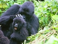 4 Days Uganda Gorilla Safari Bwindi with Gahinga Hike & Wildlife / 4 Days Bwindi Gorilla Safari & Wildlife in Queen Elizabeth Park
